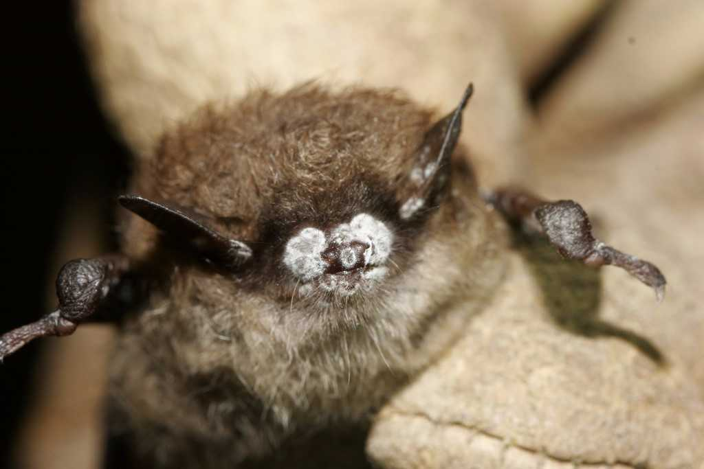 Photo of a bat with a white nose, caused by a dangerous fungus.  Credit: Ryan von Linden/New York Department of Environmental Conservation.  Credit: Ryan von Linden/New York Department of Environmental Conservation.