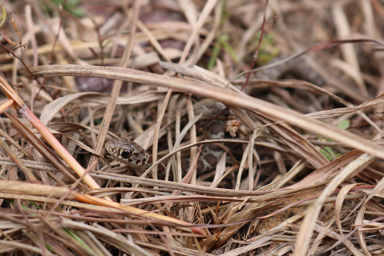 Missouri Natural History_Snake