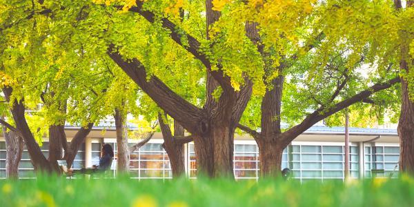 Ginkgo tree fall foliage at Washington University
