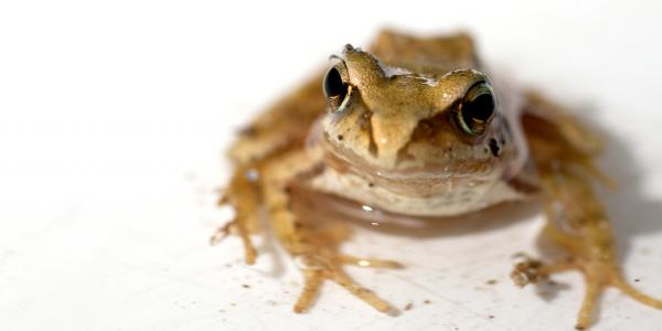 Tungara frog against a white background